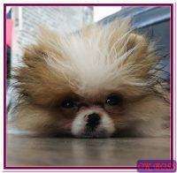 Ok Boss Parti Pom Puppy